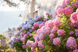 Pink, blue hydrangea flowers are blooming in spring and summer at sunset in town garden.