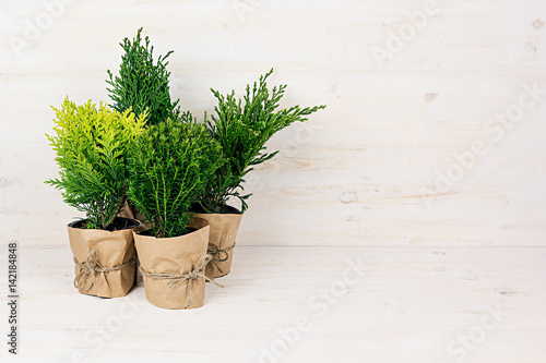 Home decoration of different young green conifer plants in pots with copy space on beige wood table Fototapete