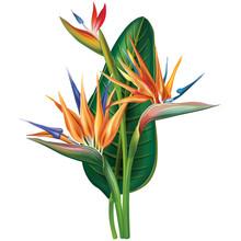 Strelitzia Reginae Flower On W...