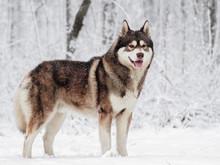 Brown Siberian Husky Standing ...