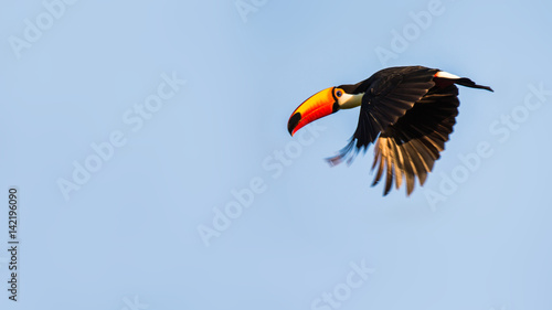 Photo sur Toile Toucan Tukan in Brasilien
