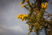 Ulex Europaeus Flowering In Spring