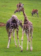 The Giraffe (Giraffa)