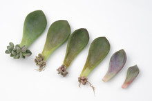 Baby Plant And Roots From Succulent Leaves