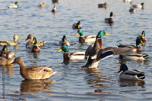 Fototapeta Mallard ducks in the spring on the Yenisei obraz
