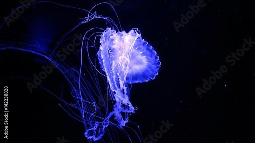 Fototapeta Fluorescent Blue Jelly Fish Floating