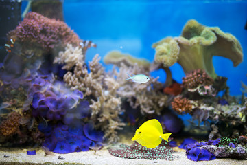 Fototapeta na wymiar Yellow tang fish in aquarium