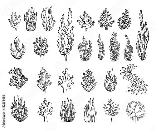 Fotografia Seaweed sketch set vector