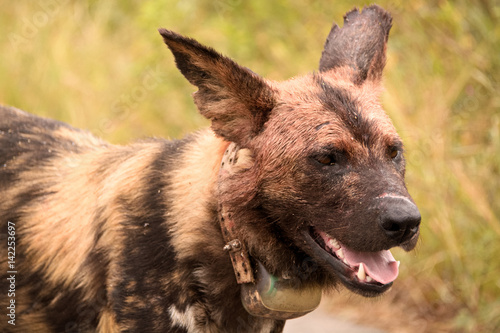 In de dag Hyena Collared African wild dog alpha male with blood on his face