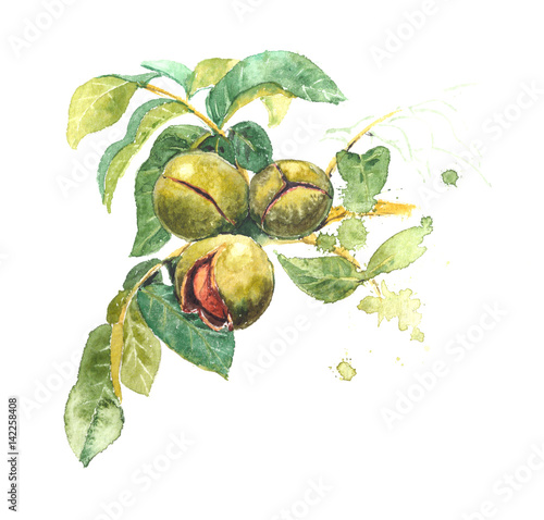 Fotografía  Realistic watercolor illustration of walnut tree, Juglans regia, with fruits, leaves