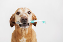 Brown Dog Holding A Toothbrush On A Bright Background. Health Care.