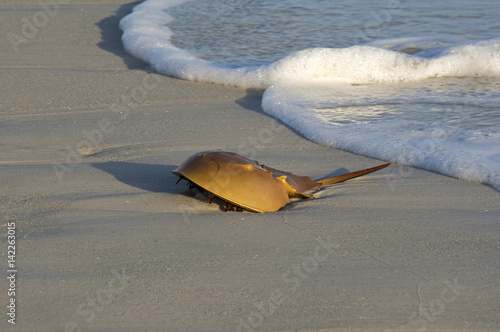 A Horseshoe Crab (Limulidae Xiphosura) washed up after a storm on St. Pete Beach, Florida.