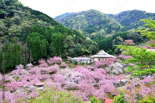Tuinposter Purper 一心寺の八重桜
