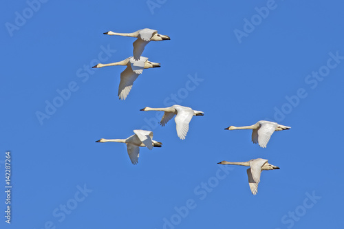 Tundra Swans Flying in a Clear Blue Sky
