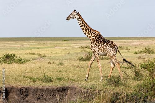 Poster Giraffe Giraffes are walking in the shroud
