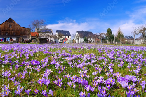 Photo Stands Crocuses Drebach Krokuswiesen im Erzgebirge - Crocus flowers in Drebach, Saxony
