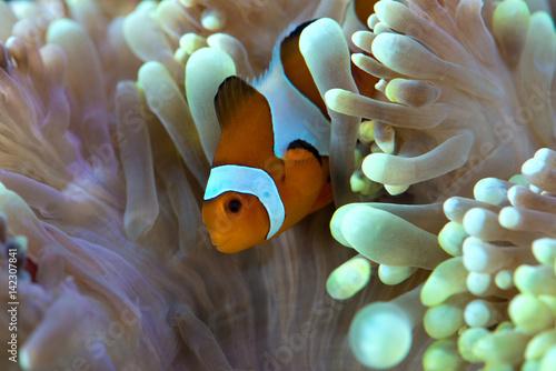 Láminas  clown fish hosting on anemone