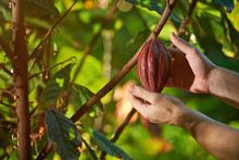 Harvest Of Cacao Pods