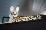 Fototapeta Sawanna - Male serval cat (leptailurus serval) sitting on top of cupboard: 5 month old male pet serval Chappie sitting on top of brown cupboard staring away from the camera.