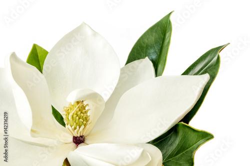 Wall Murals Magnolia Magnolia Flower over White Background