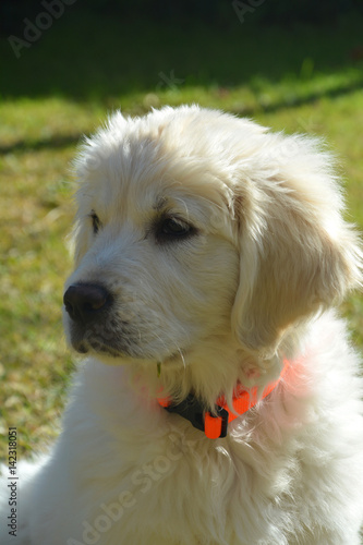 Golden Cachorro Precioso Y Guapisimo Buy This Stock Photo And