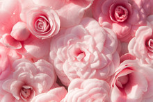 Background Of Pink Camellias A...