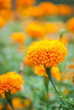 Beautiful Marigold Flowers In ...
