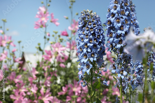 Garden with blooming mallow and delphinium against the sky. Fototapete
