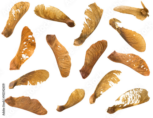 Valokuva  Many dried Sycamore Maple seed with natural fruit pod with wings in brown isolat
