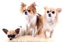 Three Chihuahua Is Resting
