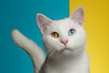 Portrait Of Pure White Cat Wit...