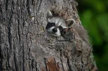 Young Raccoon (Procyon Lotor) ...