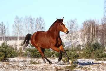Beautiful bay horse galloping free