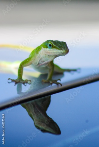 Photo Carolina Green Anole Lizard Reflection
