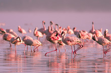 Group Of Flamingos Standing In...