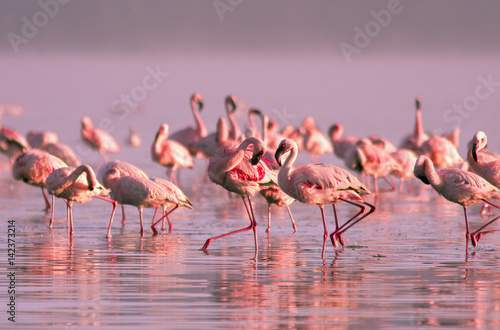 Spoed Foto op Canvas Flamingo group of flamingos standing in the water in the pink sunset light on Lake Nayvasha