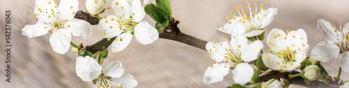 Keuken foto achterwand Kersenbloesem Blooming cherry branch