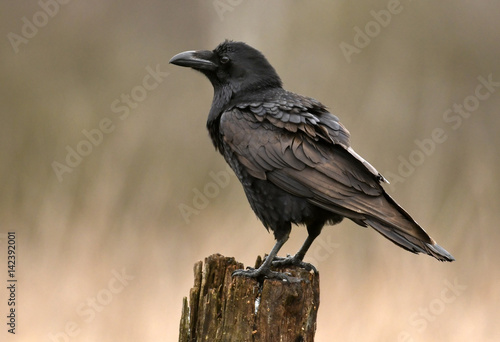 Canvas Print Common raven (Corvus corax)
