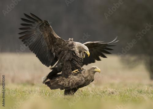 Garden Poster Eagle White tailed eagles