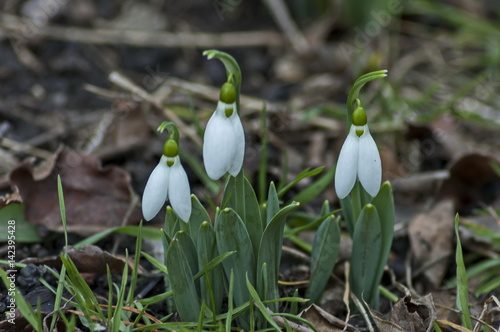 Fotografie, Obraz  Fresh white snowdrop in early spring, Sofia, Bulgaria