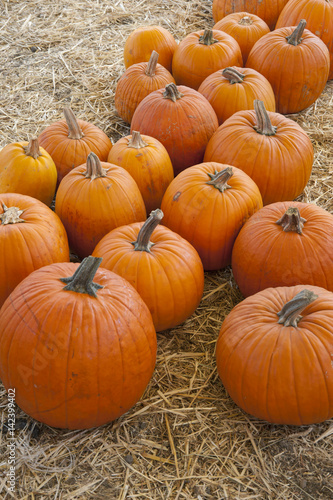 Obraz na plátne Orange ripe pumpkins on a harvest background of straw