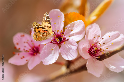 Beautiful red cherry blossom and a butterfly. Spring flowers