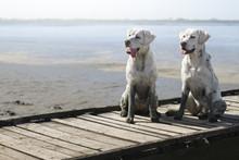 Zwei Weiße Dreckige Labrador ...