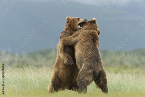 Fotografie, Tablou  Brown bear boars sparring in Alaska