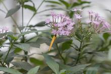 Exotischer Schmetterling, Phoebis Philea