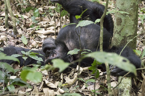 Canvas Prints Panther Chimpanzee lounging on ground, Kibale National Park, Uganda