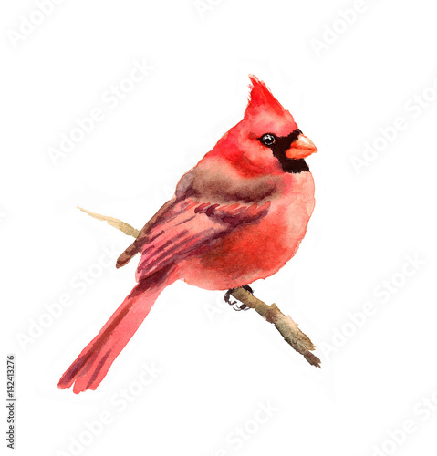 Photo  Watercolor Bird Red Cardinal Winter Christmas Hand Painted Greeting Card Illustr