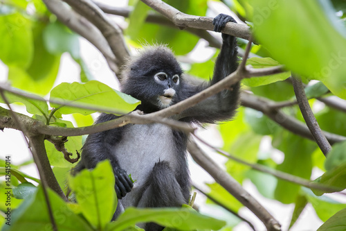 Close up face dusky leaf monkey