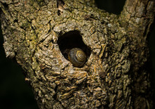 Snail Resting In Knothole Of T...