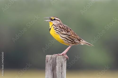 Sticker - Eastern Meadowlark (Sturnella magna)
